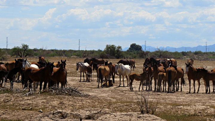 wild horses of maricopa